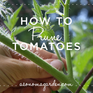 How to Prune Tomatoes